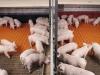 Big-Dutchman-Fluessigfuetterung-liquid-feeding-Ferkelaufzucht-piglet-rearing_01