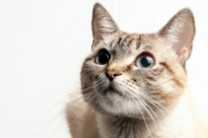 bigstock-Beautiful-Portrait-Of-A-Cat-Wi-276130999-620x500o
